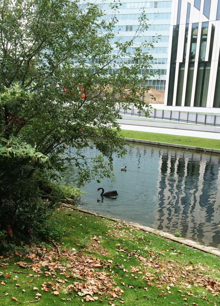 Черный лебедь на прудах в парке Хофгартен